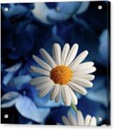 Feeling Blue Daisies Acrylic Print