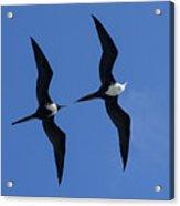 Female And Juvenile Magificent Frigatebird Fregata Magnificens 2 Acrylic Print