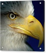 Female Bald Eagle Alaska Acrylic Print