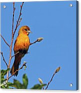 Female Baltimore Oriole Acrylic Print
