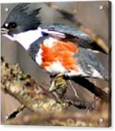Female Belted Kingfisher Acrylic Print