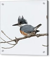 Female Belted Kingfisher On A Cloudy Day Acrylic Print