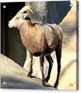 Female Bighorn Sheep Ewe Acrylic Print