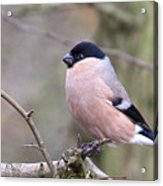 Female Bullfinch Acrylic Print