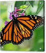 Female Butterfly Acrylic Print