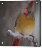 Female Cardinal In The Winter Acrylic Print