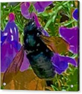 Female Carpenter Bee On Penstemons Acrylic Print