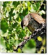 Female Cooper's Hawk Feeding Acrylic Print