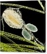 Female Copepod Cyclops Sp., Lm Acrylic Print