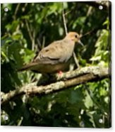 Female Dove Resting On Limb Acrylic Print