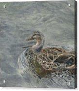 Female Duck Acrylic Print
