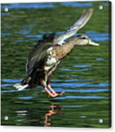 Female Duck Landing Acrylic Print