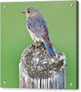 Female Eastern Bluebird 4479 Acrylic Print