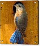 Female Eastern Bluebird 7 Acrylic Print