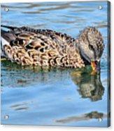 Female Gadwall Duck  Acrylic Print