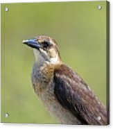 Female Grackle Acrylic Print