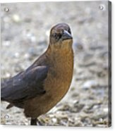 Female Grackle With Attitude Acrylic Print