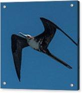 Female Great Frigatebird Flyng Overhead Near Fernandina Island Galapagos Islands Acrylic Print