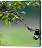 Female Great Mormon Butterfly On A Branch Acrylic Print