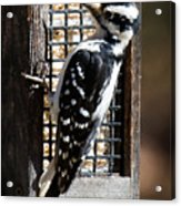 Female Hairy Woodpecker Acrylic Print