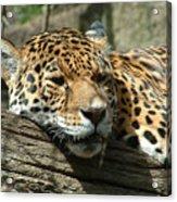 Female Jaguar Acrylic Print