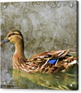 Female Mallard Acrylic Print