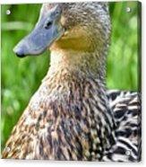 Female Mallard Duck Close Up Acrylic Print