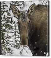 Female Moose In A Winter Wonderland Acrylic Print