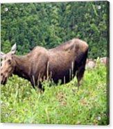 Female Moose Acrylic Print