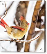 Female Northern Cardinal In The Snow Acrylic Print