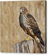 Female Northern Harrier Standing On One Leg Acrylic Print