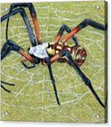 Female Orb Spider -1 Acrylic Print