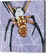 Female Orb Spider Acrylic Print