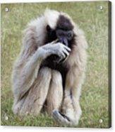 Female Pileated Gibbon, Gladys Porter Zoo Acrylic Print