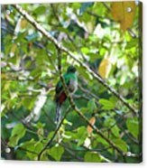Female Quetzal Acrylic Print