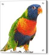 Female Rainbow Lorikeet - Trichoglossus Haematodus Acrylic Print by Life On White