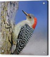 Female Red-bellied Woodpecker Acrylic Print