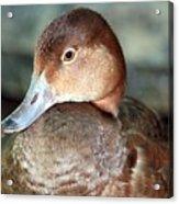 Female Redhead Duck Acrylic Print