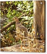 Female Ring-necked Pheasant - Phasianus Colchicus Acrylic Print