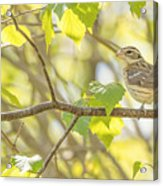 Female Rose-breasted Grosbeak Acrylic Print