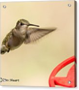 Female Ruby-throated Hummingbird Acrylic Print