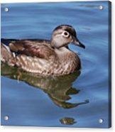 Female Wood Duck Acrylic Print