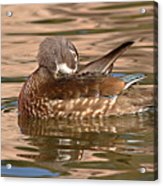 Female Wood Duck Preening On The Water Acrylic Print