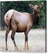 Feme Elk Acrylic Print