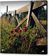 Fence and Roses Acrylic Print