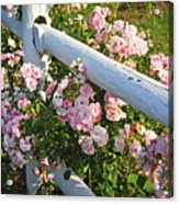Fence With Pink Roses Acrylic Print