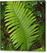Fern Leaf In June Acrylic Print