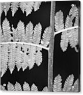 Fern Leaves 1 Acrylic Print