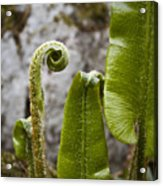 Fern Study At Blarney Castle Ireland Acrylic Print