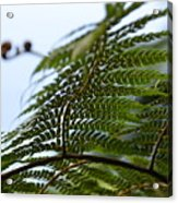 Fern Tree Frond Acrylic Print